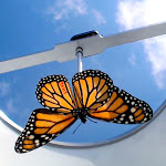 Monarch butterflies raised in captivity don't migrate – Science Magazine